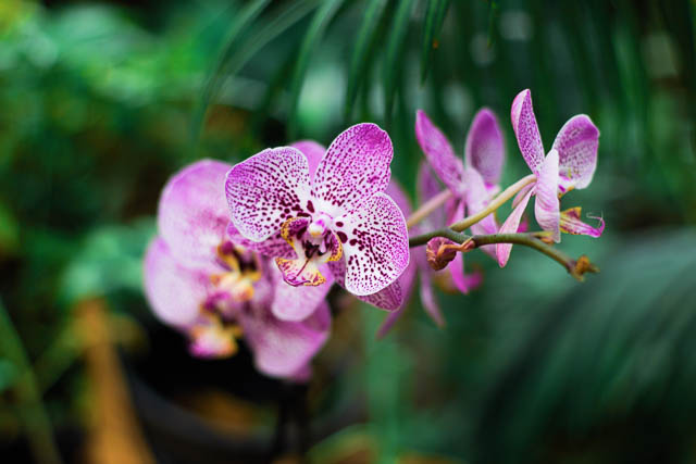 orchid-purple