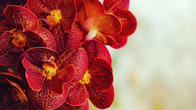 red-yellow-orchid